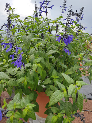 Salvia 'Black & Blue' (Salvia guaranitica 'Black & Blue')