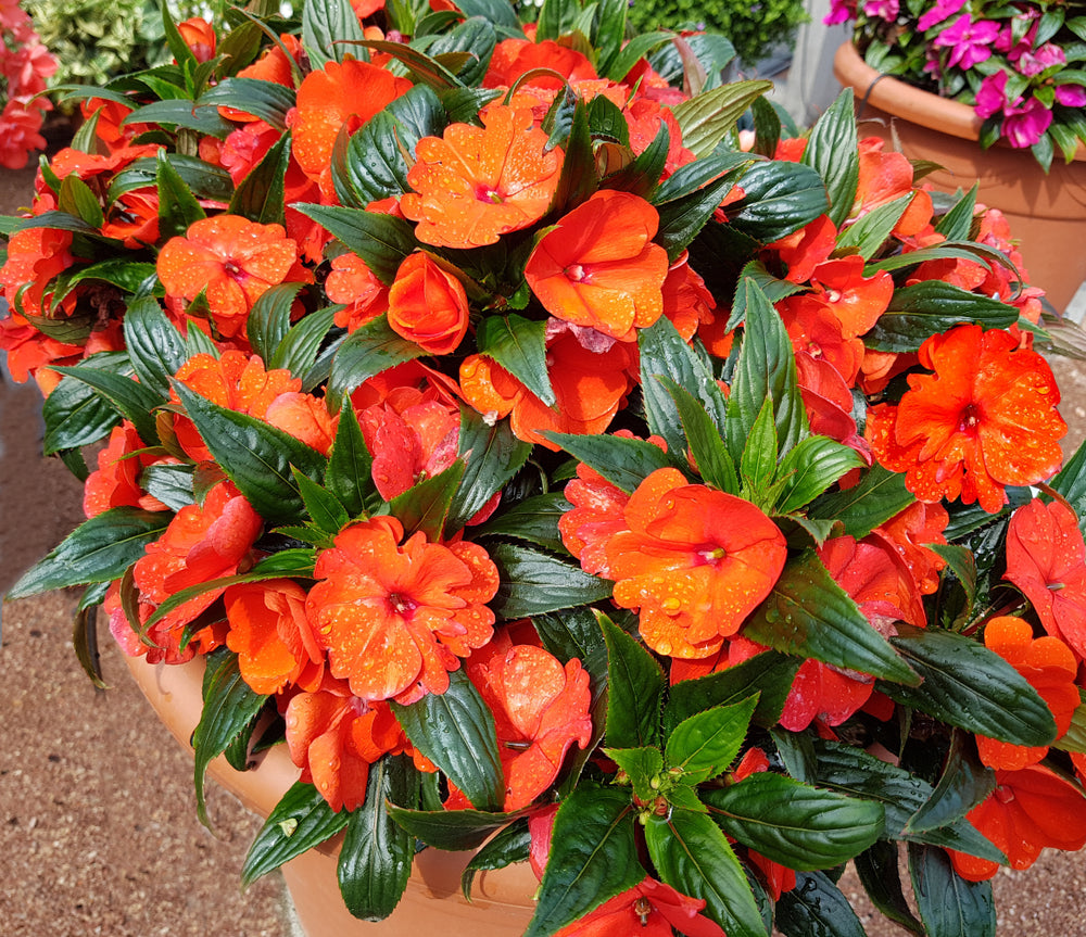 SunPatiens 'Compact Electric Orange' New Guinea Impatiens