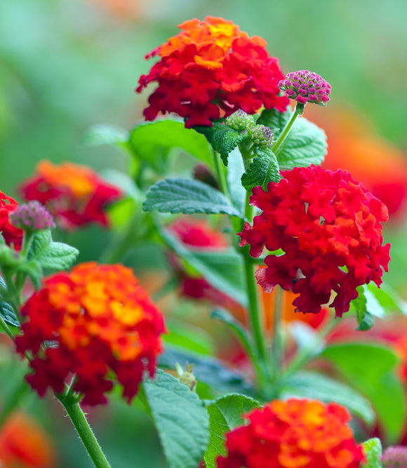 annuals for sun butterfly attractor deer resistant drought tolerant florida red lantana flower pots hummingbird plant lantana red and yellow lantana red lantana summer annuals