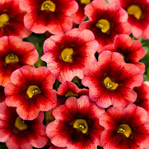 Million Bells 'Coralberry Punch' by Proven Winners (Calibrachoa)