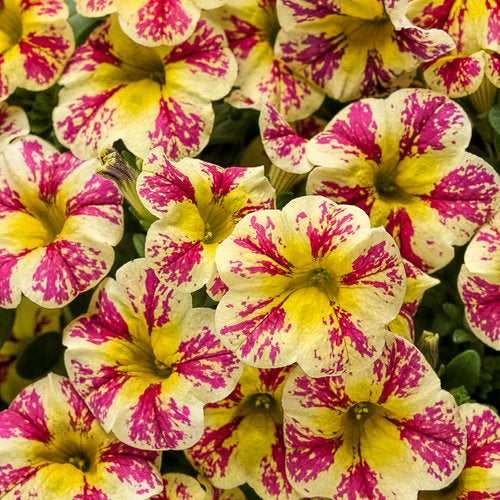 Million Bells 'Holy Moly Superbells' by Proven Winners (Calibrachoa)