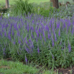 hocus pocus veronica, veronica perennial, spike speedwell, variety of Veronica from Proven Winners Incredibly long, vivid violet purple wands of brilliant color top the short, healthy, bright green clump of foliage.