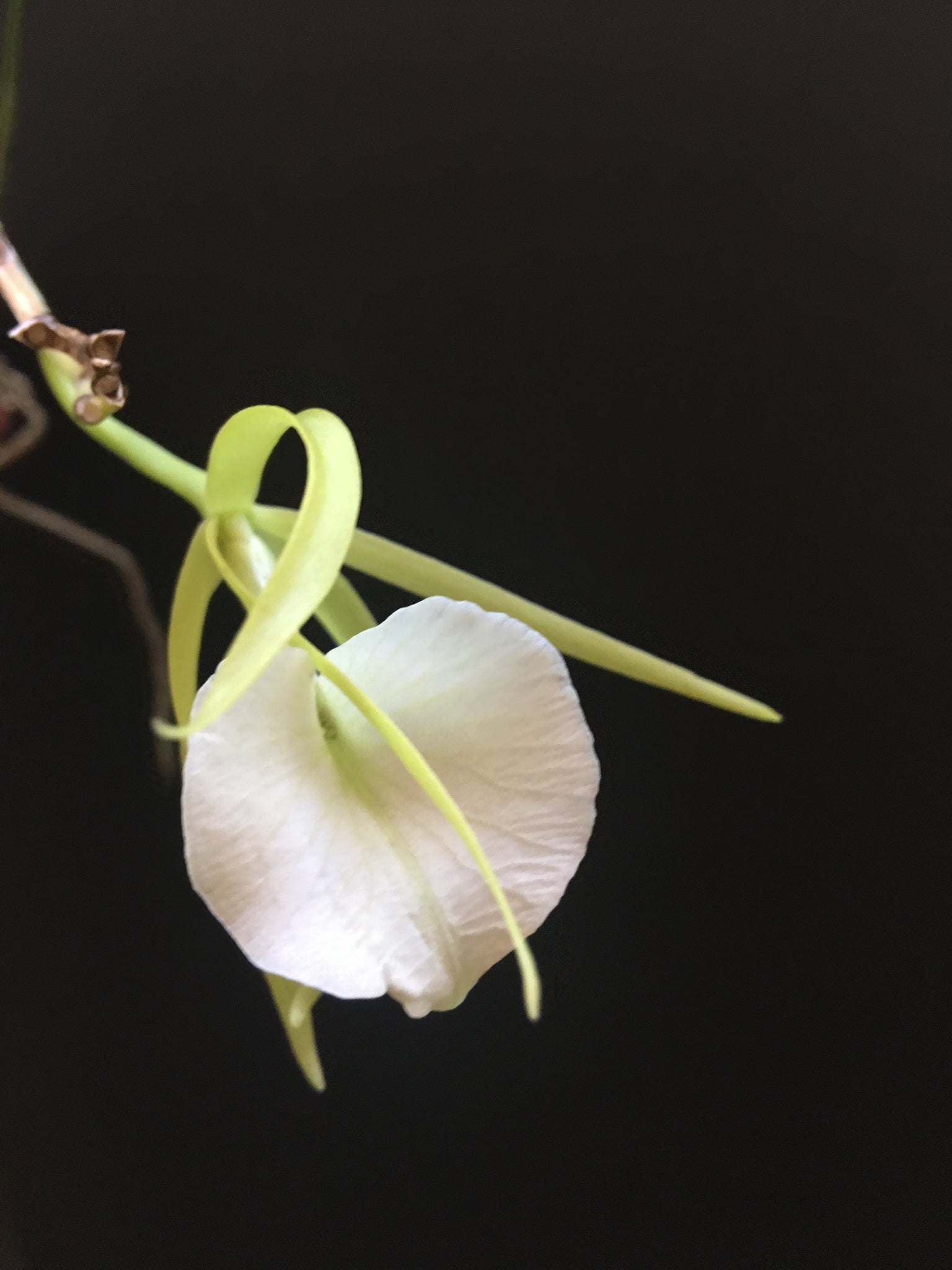 Orchid Brassavola cordata - BS (blooming size)