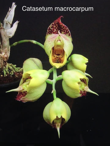 Catasetum macrocarpum