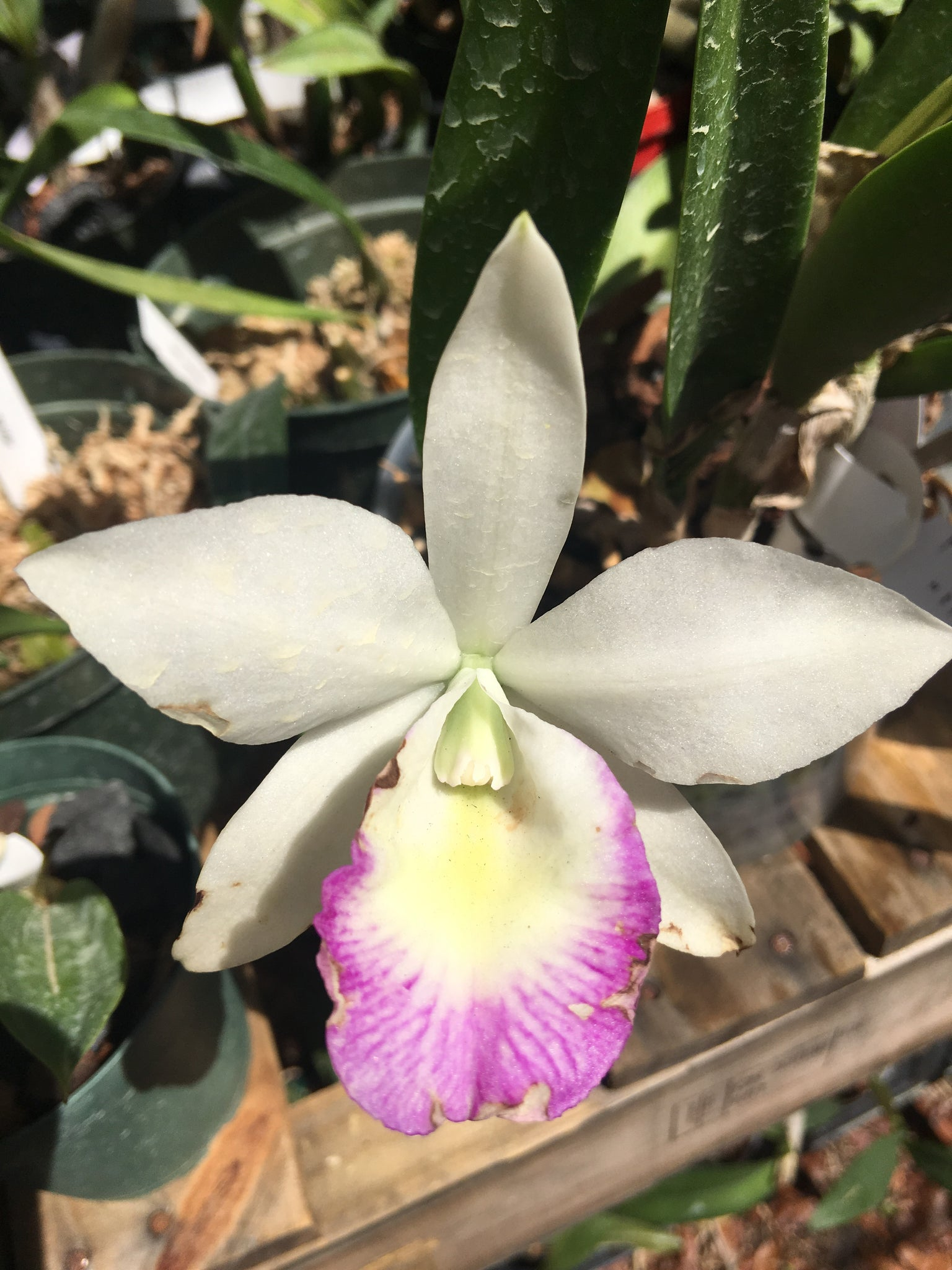 "Orchid Blc. Hawaii Stars ""Pink Lace"" - BS / bare root"