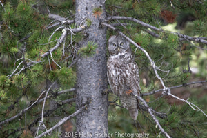 A Great Gray Owl in the Tetons