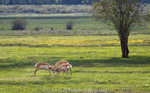 Frolicking Pronghorn Bucks