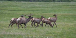 A Small Herd of Elk