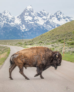 A Lone Bison in the Tetons