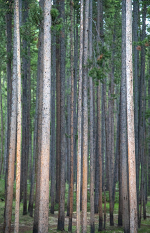 New Growth Forest Vertical