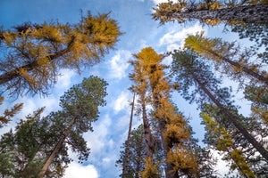 Sky Larches