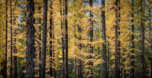 Autumn Larch