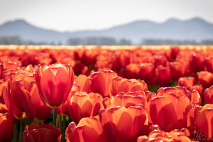 Orange Tulips in Skagit Valley