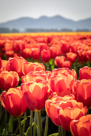 Orange Tulips in Skagit Valley - Vertical