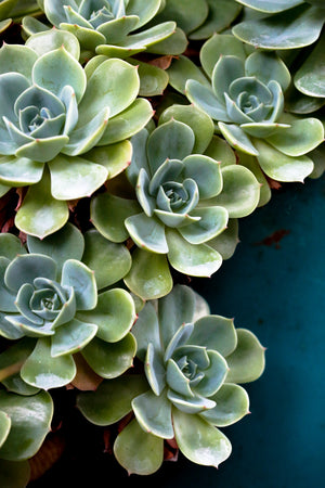 Succulents In Blue