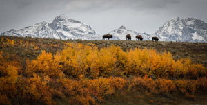 Beautiful Bison In The Tetons