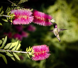 Hummingbird At Feeding Time