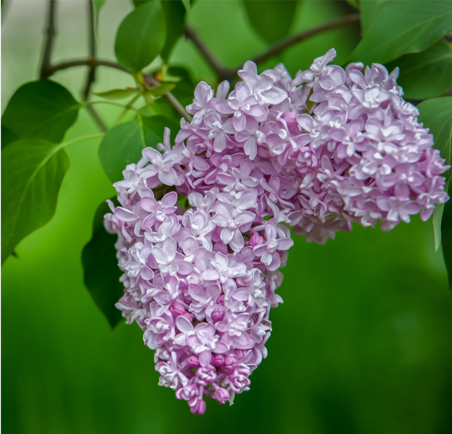 How can Lilac extract help reduce skin inflammation in your 20s