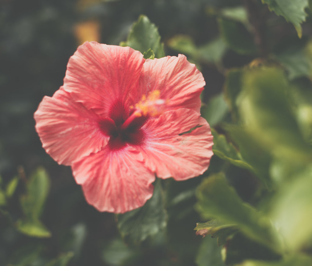 "Hibiscus: The Long-term effects for this ""Botox plant"""