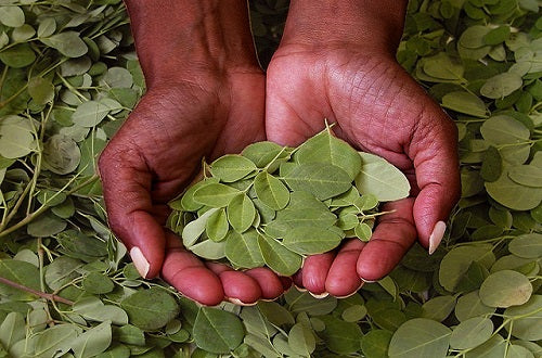 Why We Love Moringa Oil