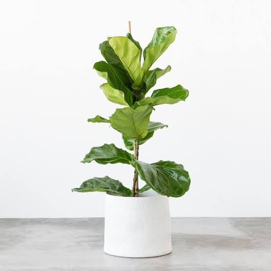 Fiddle Leaf Figs: Everything you need to know!