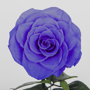 """Love at First Sight"" Purple Enchanted Rose"
