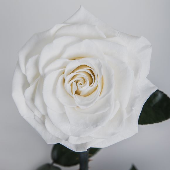 """Thinking of You"" White Enchanted Rose"