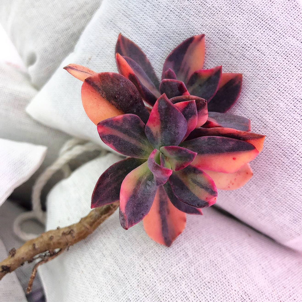 (RESERVED FOR JES) PRESALE Echeveria Hanaikada, Variegata