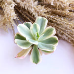 Echeveria Secunda, Variegata (In Stock)