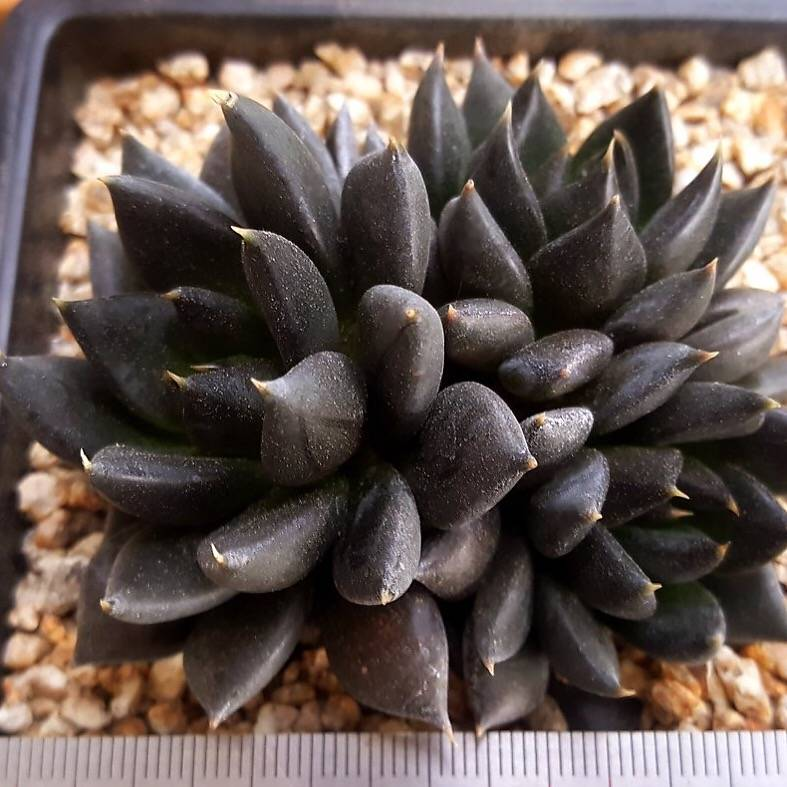 PRESALE Echeveria Dark Knight, Hybrid? (Random)