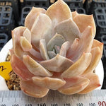 PRESALE Echeveria Grouse, (Random)