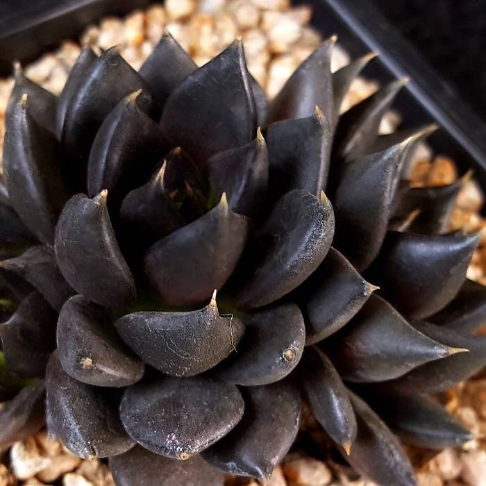 PRESALE Echeveria Black Knight, Hybrid? (Not So Random)