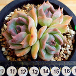 PRESALE Echeveria Rosanna, Triple, (Not So Random)