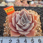 PRESALE Echeveria Simulans Ascension, (Not So Random)