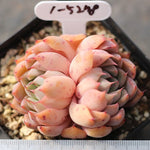 PRESALE Echeveria Golden Bear (Double)