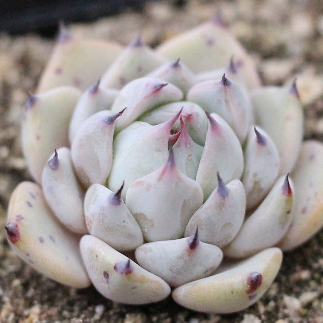 SPECIAL! JUST CART!!! Echeveria Largea