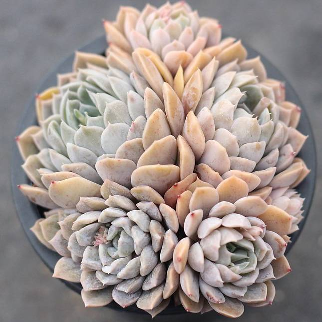 PRESALE Echeveria 'Mary Bell' (Cluster)