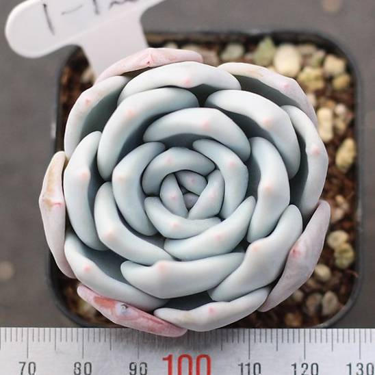 PRESALE Echeveria 'Ivory' (New)