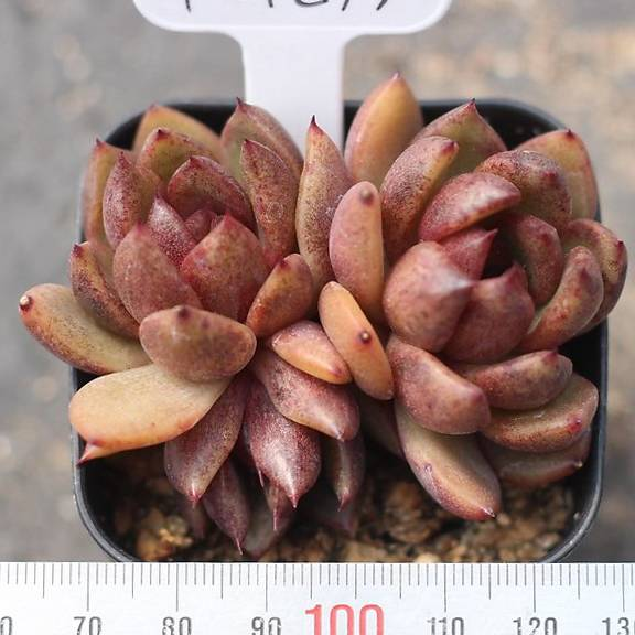 PRESALE Echeveria 'Black Rose'
