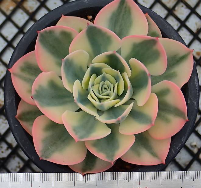 PRESALE Echeveria Lenore Dean, (Not so Random)