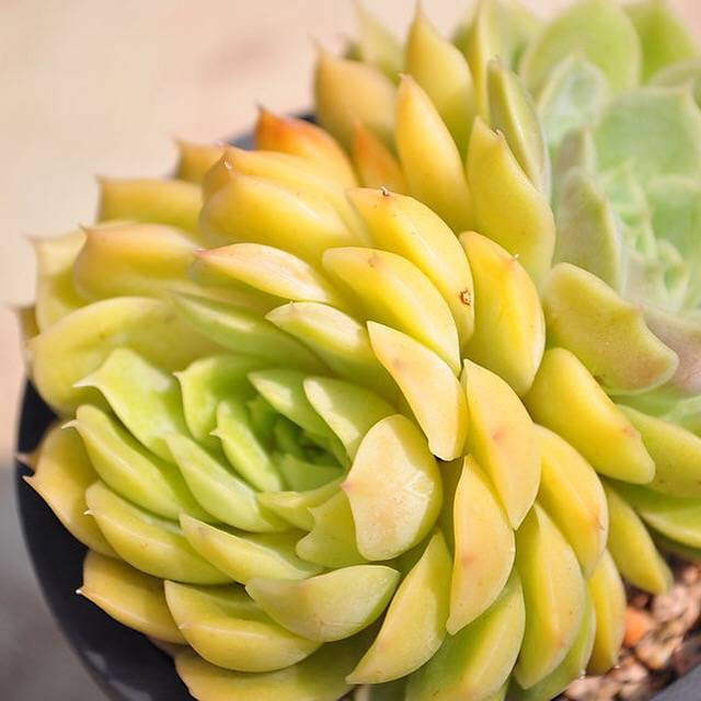 Echeveria Onslow, Double (50% off, Flawed)