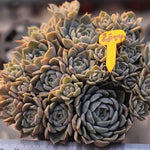 SALE! Echeveria Mary Bell, Cluster