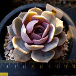 Echeveria Blue Surprise, (Not so Random)