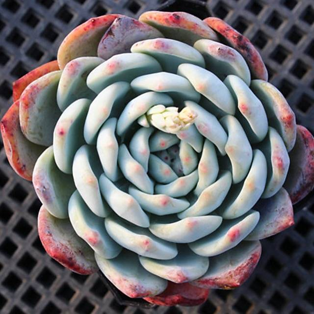 PRESALE Echeveria Orange Monroe, (Not So Random)
