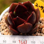 PRESALE Echeveria Black Queen Sp.