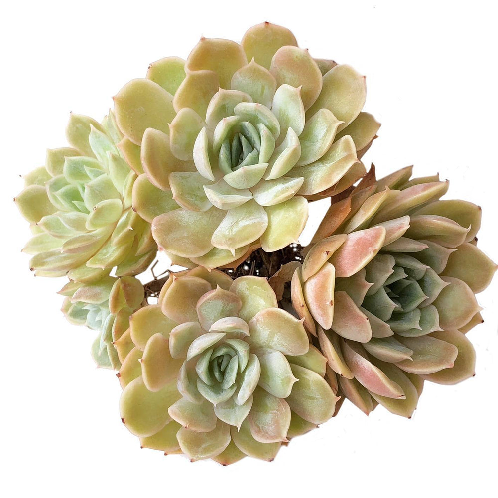 Echeveria Onslow, Cluster