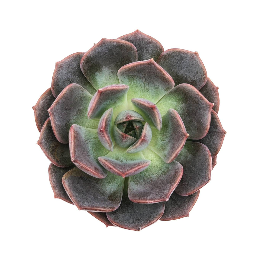 SALE! Echeveria Maroon Hill