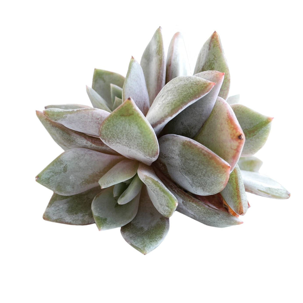 SALE! Echeveria Champagne, (Germany)