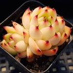 PRESALE Echeveria Sp., (Not So Random)