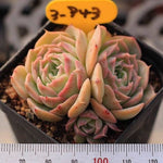 Echeveria Gold Light, (Not so Random)